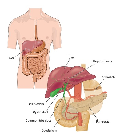 gallbladder: Digestive tract Illustration