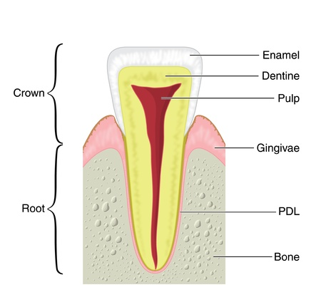 cross section: Cross section of a typical tooth