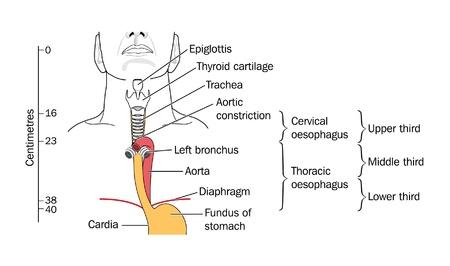 klatki piersiowej: Krtani i tchawicy Ilustracja