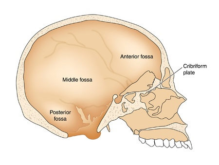 cranial: Cross section through skull