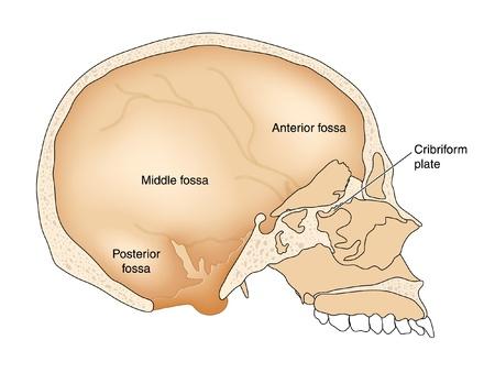 cribriform: Cross section through skull