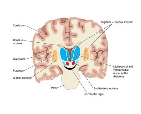 Dibujo del cerebro mostrando los ganglios basales abd núcleos talámicos
