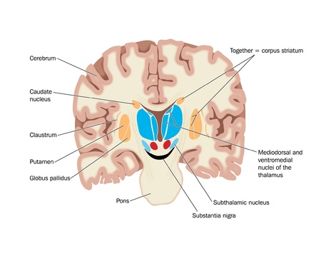 midbrain: Drawing of the brain showing the basal ganglia abd thalamic nuclei