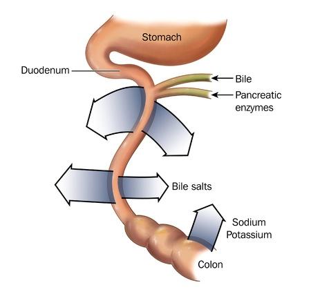 trzustka: Reabsorpcji soli i żółci z jelita