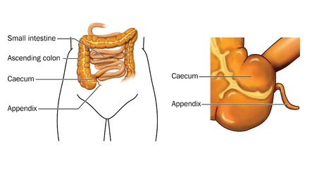 Drawing of the small and large intestine with detail of caecum and appendix Stock Photo