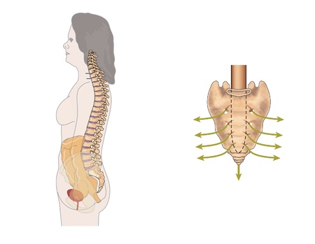 sacrum: Side view of the bowel, spinal column and sacral nerves, to show the nerves involved in bowel control Stock Photo