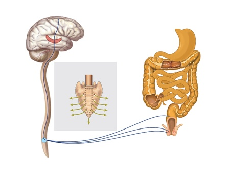 Drawing to show the nerve pathways controlling the rectum and anal sphincters for the control of defecation Stock Photo - 14035728