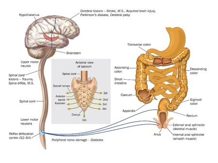 continence: Drawing to show the nerve pathways controlling the rectum and anal sphincters for the control of defecation