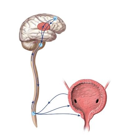 Dibujo para mostrar las vías nerviosas que la micción de orinar de control