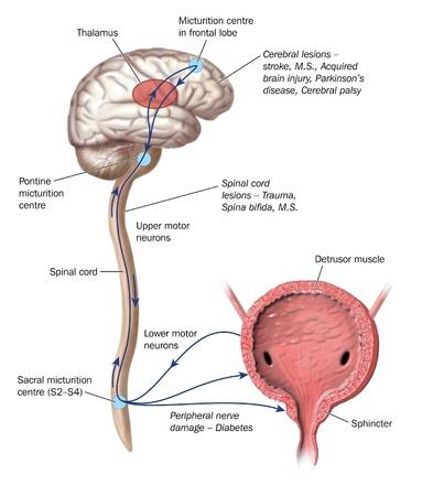 medula espinal: Dibujo para mostrar las vías nerviosas que orinar micción de control
