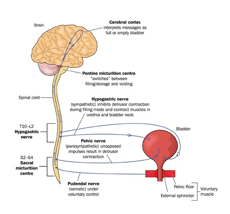 urination: Drawing to show the nervous control of the urinary bladder viw the hypogastric, pelvic and pudendal nerves