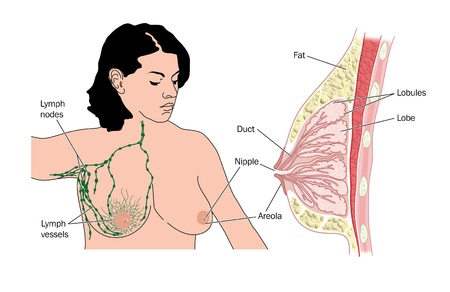 nipple breast: Cross section of female breast and the lymph drainage and lymph nodes of the breast and axilla