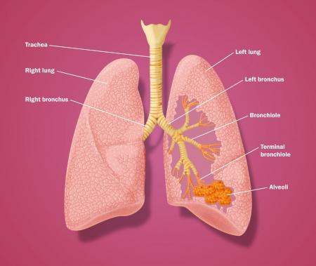 Disegno dei polmoni per mostrare i dettagli della, trachea bronchi e alveoli Archivio Fotografico