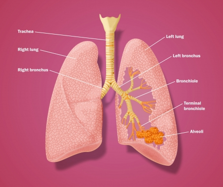 alveolos pulmonares: Plano de los pulmones para mostrar el detalle de la tráquea, los bronquios y los alvéolos