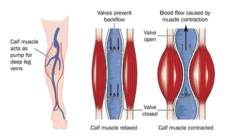 veine humaine: Dessin pour montrer l'action des muscles du mollet � pomper le sang � l'arri�re du membre inf�rieur vers le c?ur