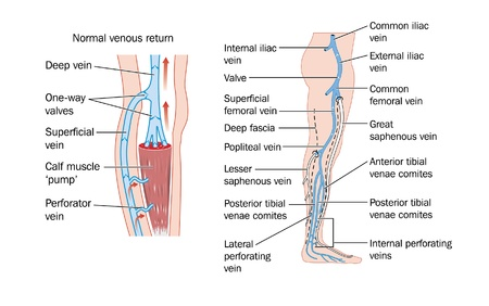 lower limb: Drawing of the veins of the leg and the calf muscle pump Illustration