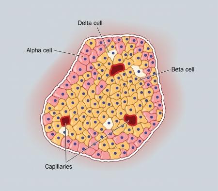 Tekening van een pancreatische eilandjes van Langerhans, die de alpha, beta en delta hormoon producerende cellen