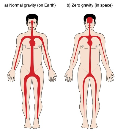 zero gravity: Drawing to show the blood is distributed in the body on earth with normal gravity and in space with zero gravity Illustration