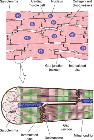 Drawing to show detail of cardiac  heart  muscle cells and muscle fibers, from the cellular to the sub-cellular level