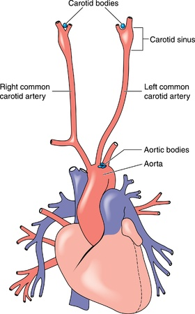 Drawing to show the positions and the anatomical relations of the carotid and aortic bodies, used as blood composition sensors