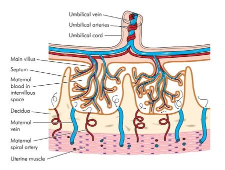 vasos sanguineos: Dibujo para mostrar los detalles de las vellosidades cori�nicas de tejido de la placenta, incluyendo el cord�n umbilical y los vasos sangu�neos asociados