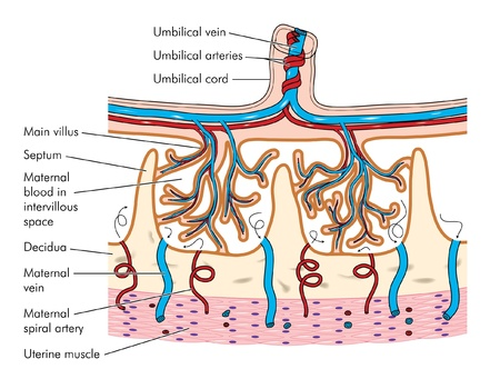 Zeichnung zum Detail von Chorionzotten der Plazenta-Gewebe, einschließlich der Nabelschnur und der damit verbundenen Blutgefäße zeigen Vektorgrafik
