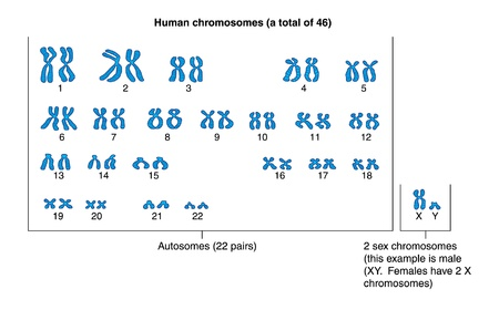 Human chromosomes arranged to show 22 pairs of autosomes and 2 chromosomes