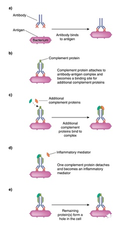 complement: Complement proteins binding to an antibody-antigen complex for instigating inflammation and bacterial destruction Illustration