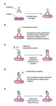 Komplement-Proteine ??Bindung an einen Antikörper-Antigen-Komplex für die Anstiftung Entzündungen und bakteriellen Zerstörung