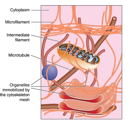 organelles: Detail of cellular structure, showing organelles immobilized by cytoskeleton mesh