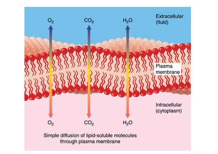 membrana cellulare: Diffusione di acqua, ossigeno e anidride carbonica attraverso una tipica membrana plasmatica doppio strato fosfolipidico