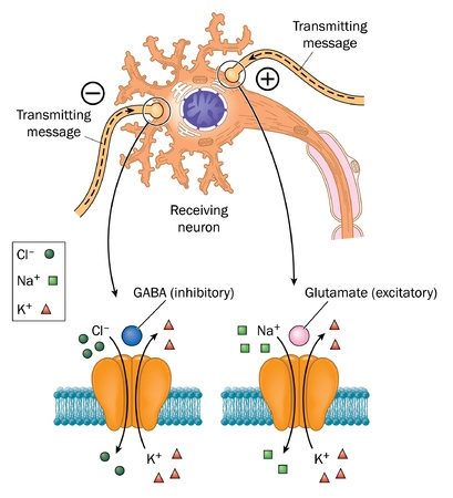 nerve message: Transmission of nerve impulse from transmitting neurons to receiving neurons and the affects of GABA and glutamate Illustration