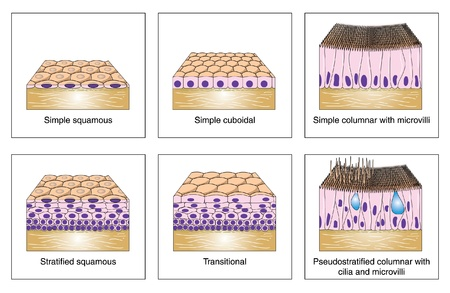 Diagram to show the various kinds of epithelium -- simple squamous, stratified squamous, cuboidal, columnar and transitional
