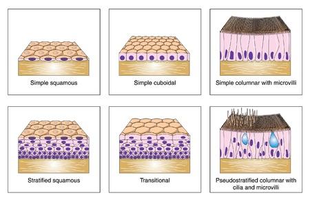 Diagrama para mostrar los distintos tipos de epitelio escamoso - simple, escamoso estratificado, c�bicas y cil�ndricas y de transici�n
