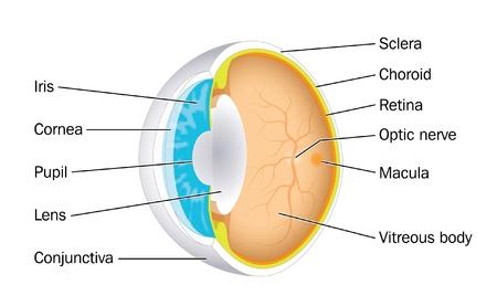 cornea: Sezione obliqua attraverso il bulbo oculare dell'occhio che mostra la pupilla, iride, cristallino, retina e altre strutture importanti