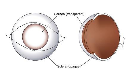 cornea: Disegno di mostrare le posizioni relative e l'opacit� della cornea e nella sclera dell'occhio