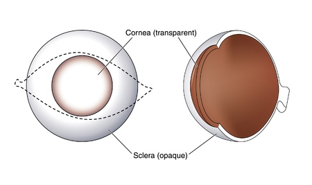 Drawing to show the relative positions and opacity of the cornea and sclera of the eye