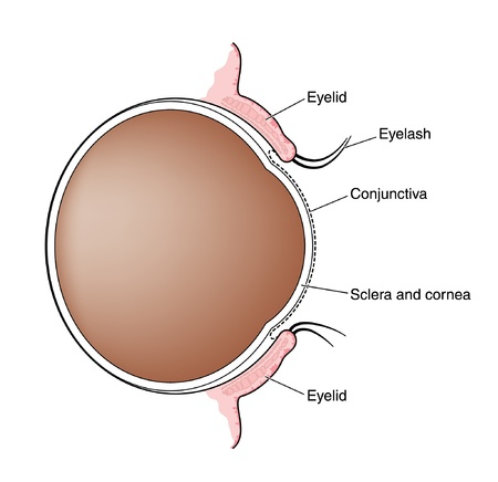 cornea: Cross section through the eye showing the eyelids, eyelashes and the relative positions of the eyelids to the conjunctiva, cornea and sclera