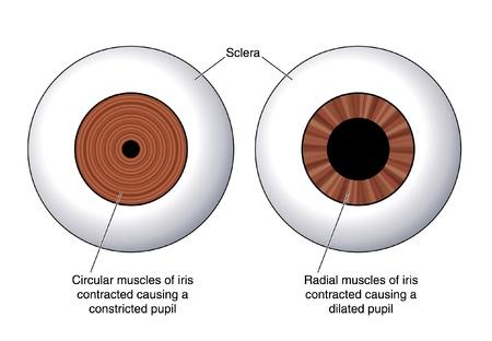 anatomia humana: Dibujo para mostrar los m�sculos circulares del iris y de los m�sculos radiales del iris utilizados en el control de la luz en el ojo Vectores