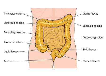 from small bowel: Drawing to show the state and position of feces as it travels through the large intestine