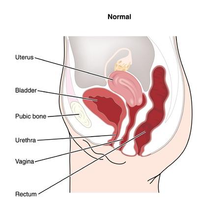uretra: Dibujo para mostrar el sistema reproductor femenino y las relaciones f�sicas entre los �rganos reproductores femeninos y otros �rganos abdominales