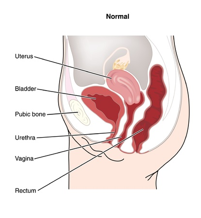 Drawing to show the female reproductive system and the physical relationships between the female reproductive organs and other abdominal organs Illustration