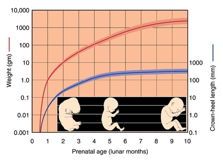 Graph of fetal development from zero to ten months showing weight in grams and crown-heel length in millimeters Illustration