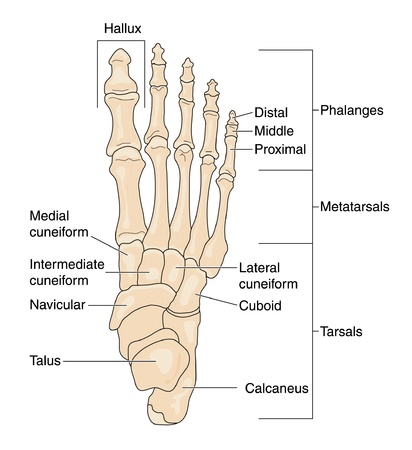 Drawing to show the bones of the right foot, dorsal or top view, showing the individual bones, the phalanges, metatarsals and tarsals