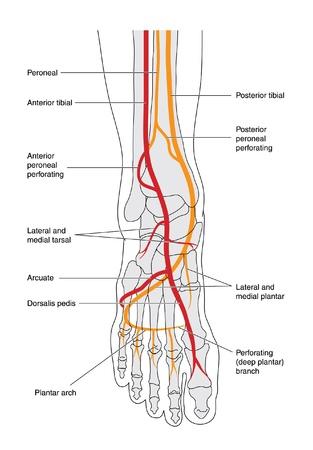 Tekening van het onderbeen waaronder de enkel en voet botten geeft de arteriële bloedtoevoer
