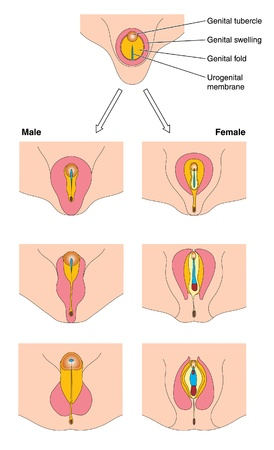 Diagram to show the fetal development of male and female genitalia Illustration