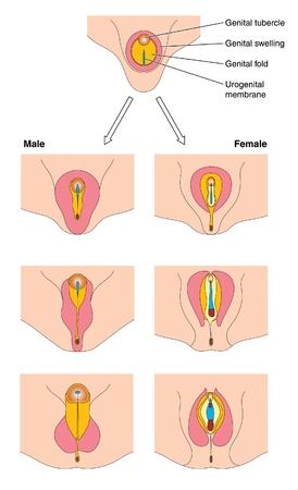 Diagram van de foetale ontwikkeling van mannelijke en vrouwelijke genitaliën tonen