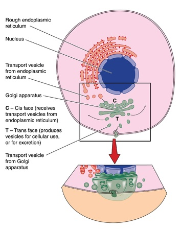 vesicles: Drawing of a cell showing detailed structure of the Golgi apparatus and other organelles Illustration