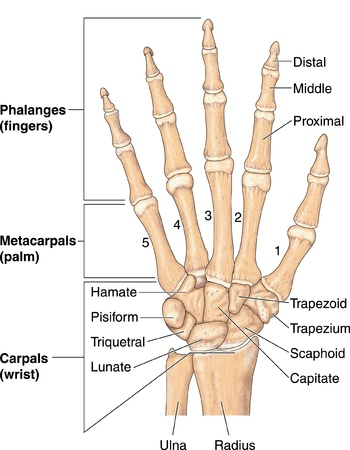 Drawing of the bones of the hand, showing the phalanges, metacarpals and carpals