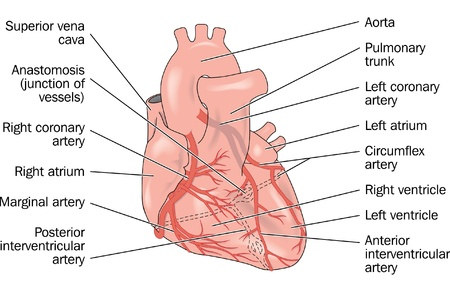 medical drawing: The external anterior anatomy of the heart showing coronary arteries and major vessels